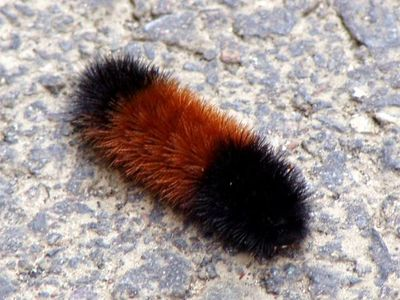 Brownstriped-woolybear-412