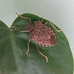 CLOSEUP OF STINKBUG
