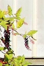 Berries20